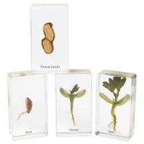 Acrylic Peanut Life Cycle - Set of 4